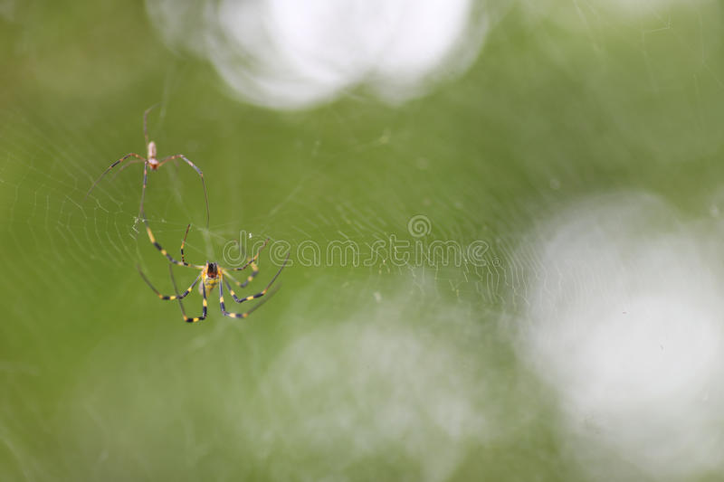 Two Small Spiders royalty free stock image