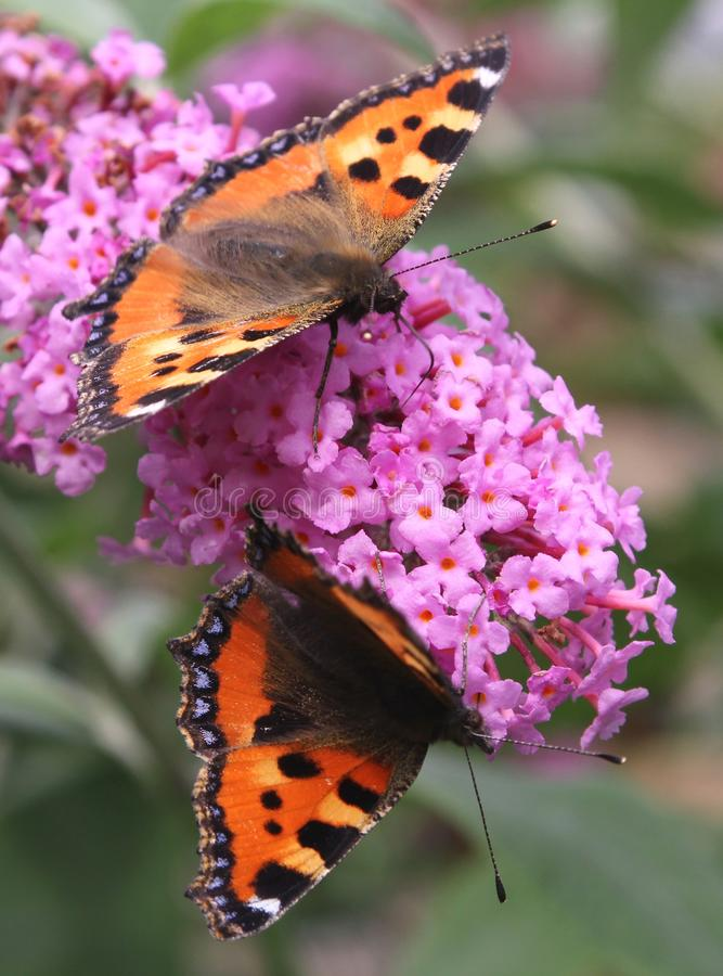 Couple of two small Tortoiseshell butterflies at a butterfly-bush, Netherlands. Two small Tortoiseshell butterflies in close-up on a blooming butterfly-bush royalty free stock photo