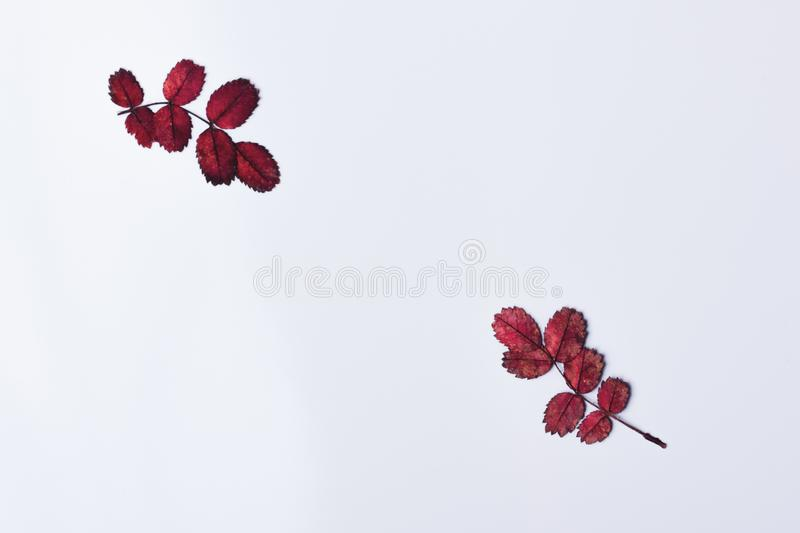 Two small twigs with red autumn leaves. Top view. Flat lay. Copy space royalty free stock image