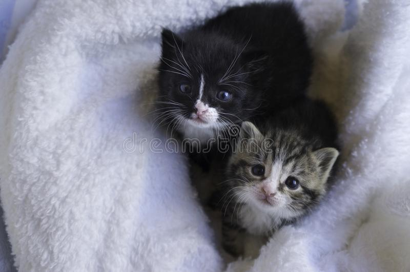 Small kittens snuggling in the blankets. Two small 4 weeks old kittens snuggling in the blankets looking up royalty free stock image