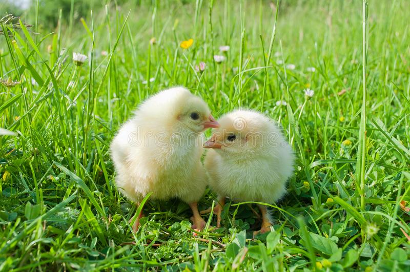 Two small white chicks in green grass royalty free stock photo