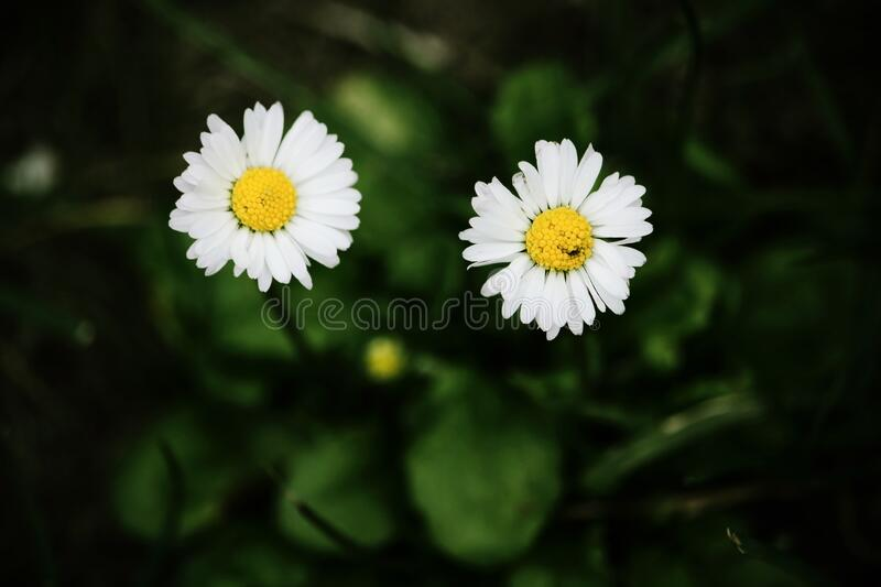 Two small white field daisies with yellow center royalty free stock photography