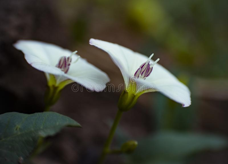 Two small white flowers royalty free stock images