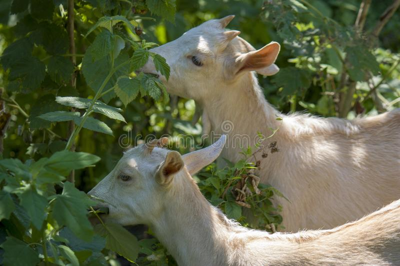 Two small white goats eat raspberry leaves, closeup royalty free stock photography