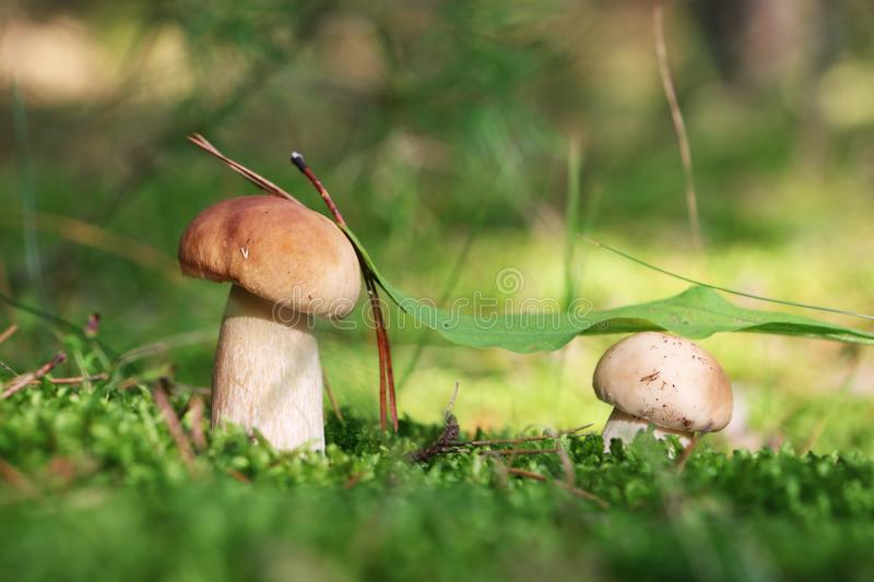 Two small white mushrooms in moss royalty free stock images