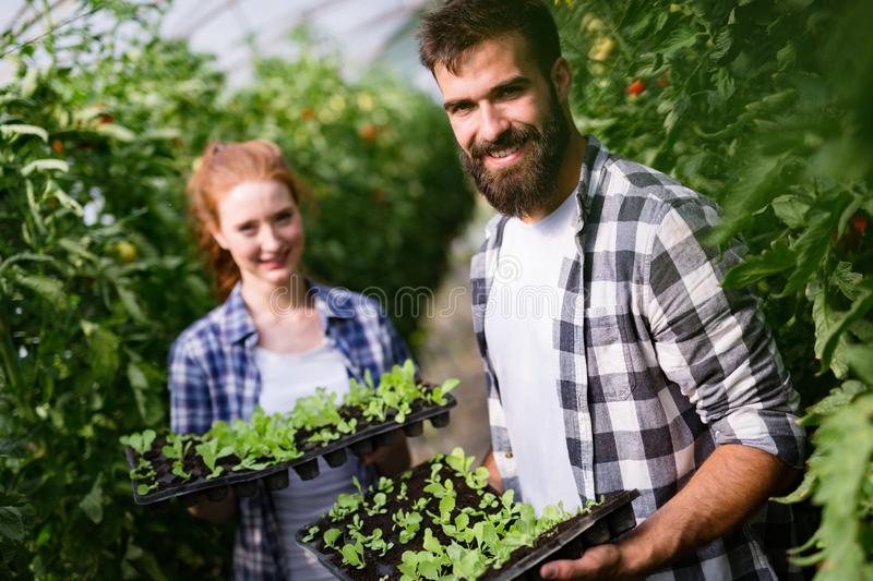 Two people working in a greenhouse. royalty free stock photo