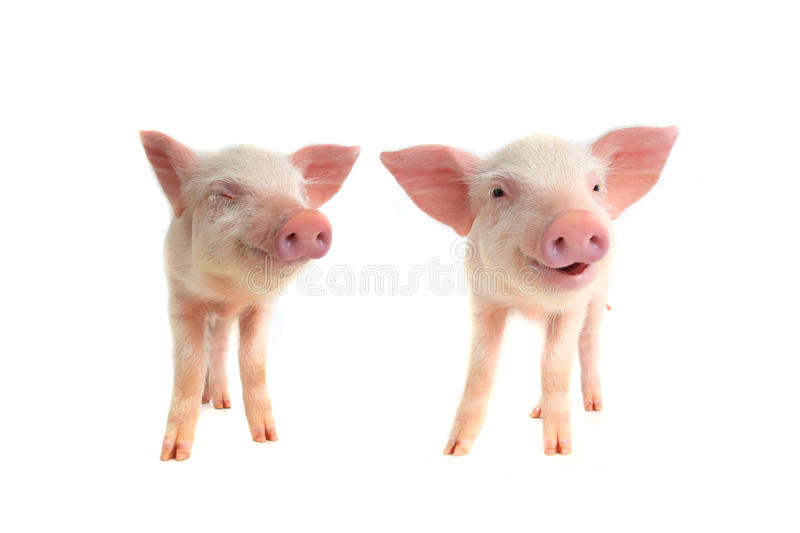 Two smile pig royalty free stock photo