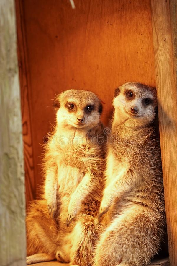 Free Two Smiling Meerkat Sitting In Their Cage Stock Image - 156938831