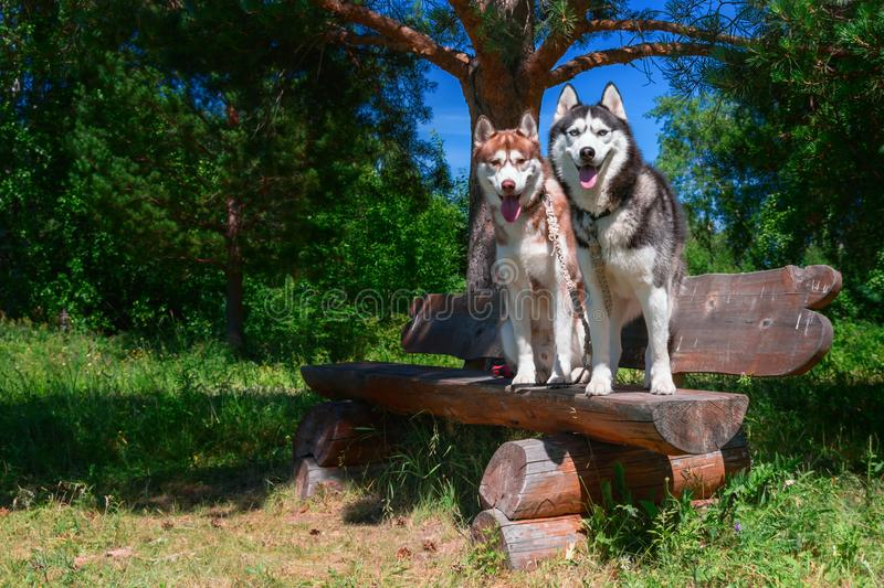 Two smiling Siberian huskies dogs are sitting on bench in park. Sunny summer day, background of coniferous trees and blue sky. stock image