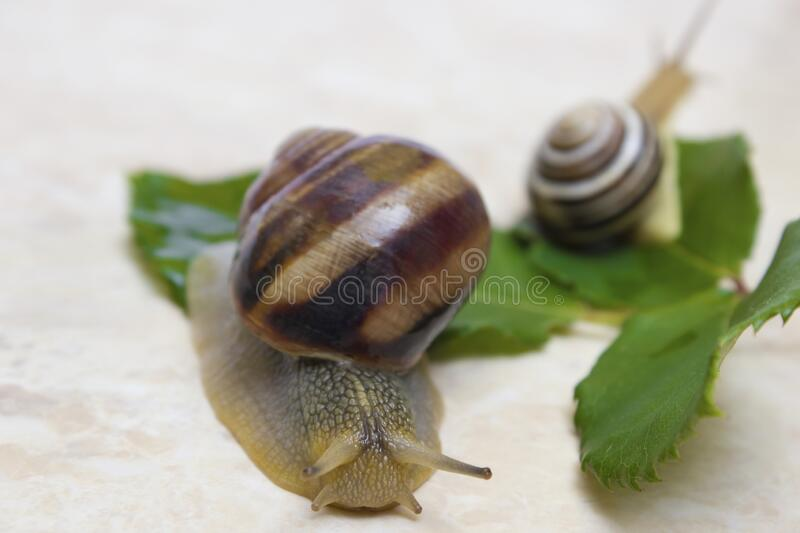 Two snail grape close-up - studio shot, biology, wild life royalty free stock photography