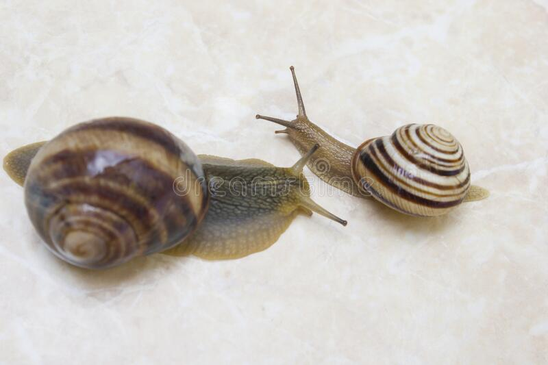 Two snail grape close-up - studio shot, biology, wild life stock image
