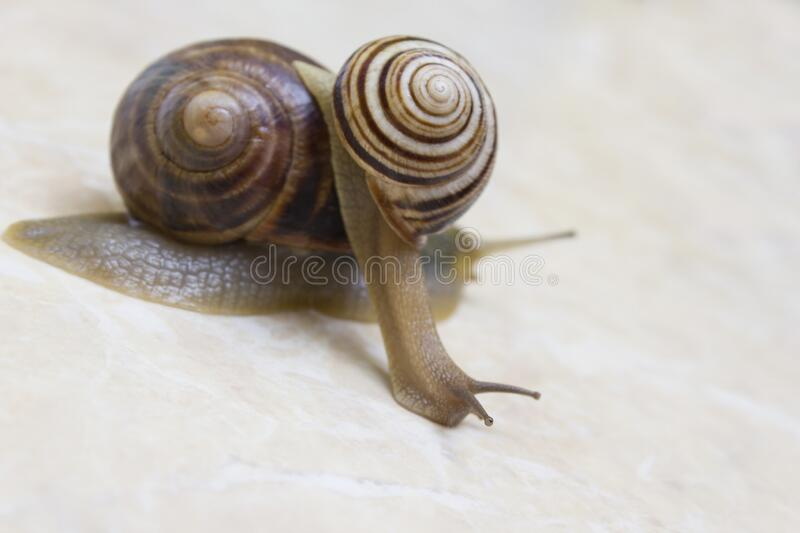 Two snail grape close-up - studio shot, biology, wild life royalty free stock photo