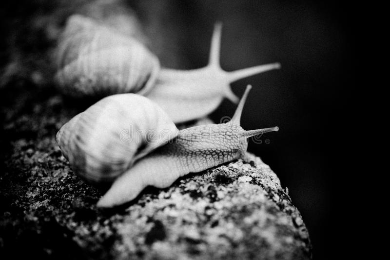 Two Snail on the stone black and white. Snail and stone stock images