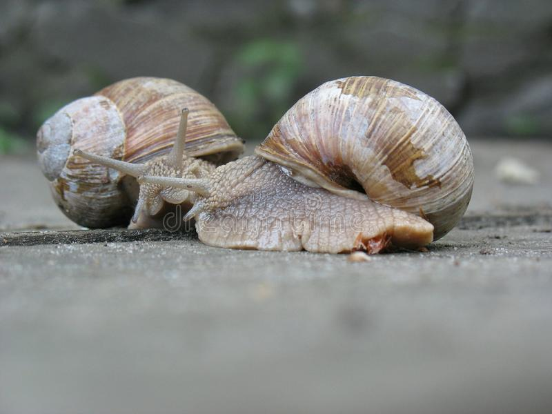 Two snails crawl to each other for a meeting. stock images