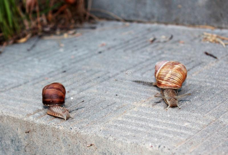 Two snails crawling towards each other. royalty free stock images