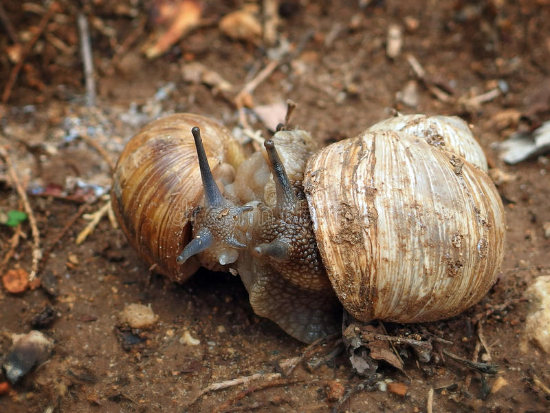 Two snails cuddling looking at each other stock image