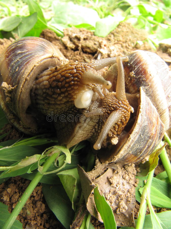 Love of two snails royalty free stock images