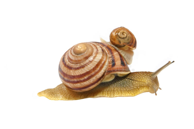 Two snails.Isolated.