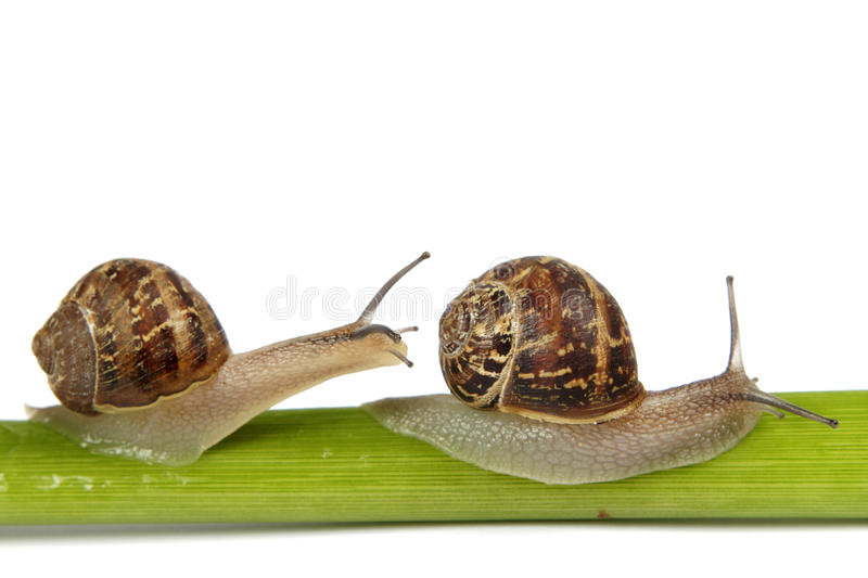 Two snails on a stem. Two garden snails on a lily stem with a white background royalty free stock photography