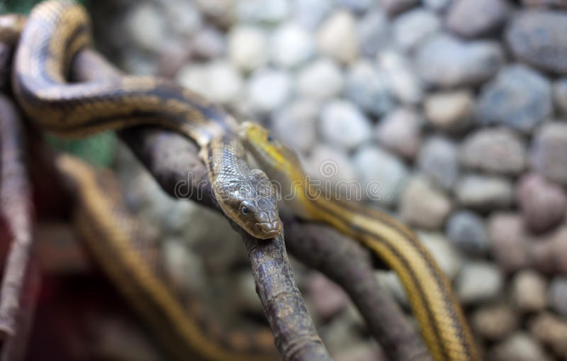 Download Two Snakes On The Branch Stock Photography - Image: 25551432