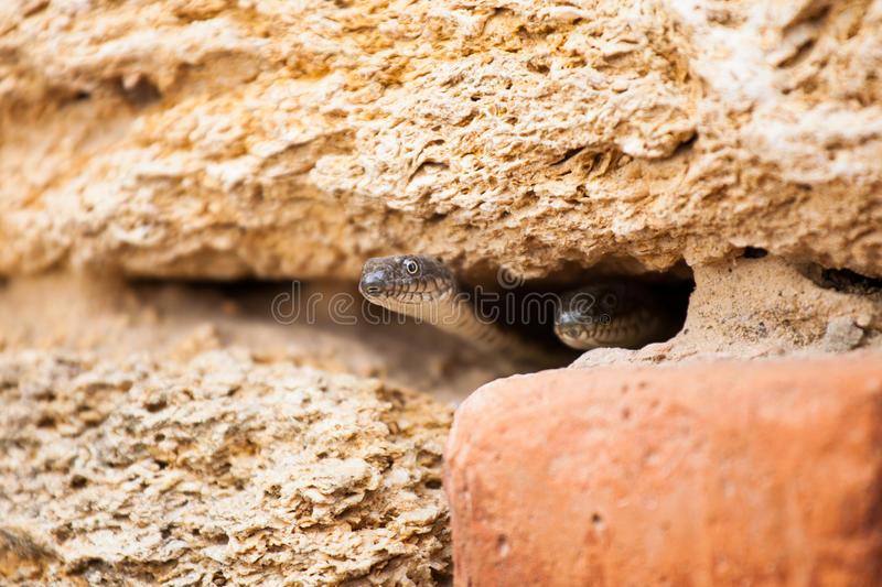 Two snakes in the burrow stock images