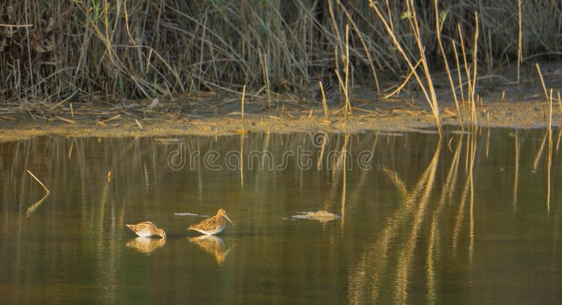 Two Snipes at lagoon in evening light. Two Snipes - Gallinago gallinago - wading in a shallow lagoon with the last evening light in Southern Europe royalty free stock images