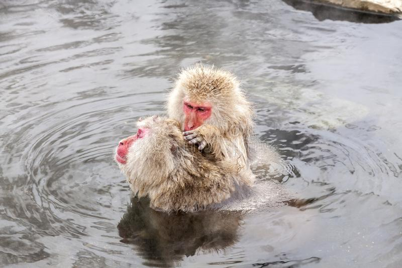 Two Snow monkeys Macaca fuscata from Jigokudani Monkey Park in Japan, Nagano Prefecture. Cute Japanese macaque. Sitting in a hot spring royalty free stock photography