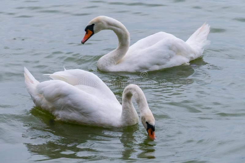 Two snow-white swans float on a lake with steam in search of fish. For your design royalty free stock photography