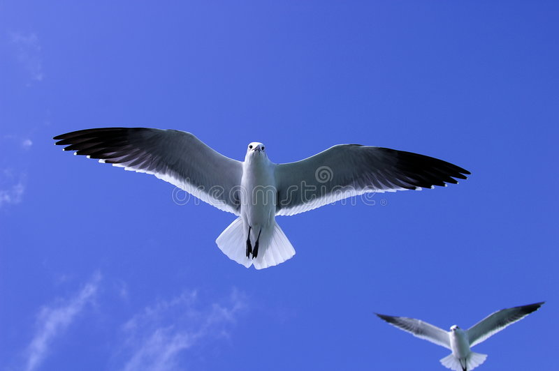 Two soaring seagulls stock images