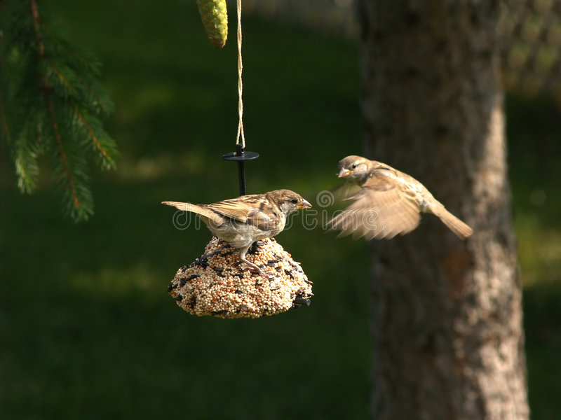 Two Song Sparrows at a feeder stock images
