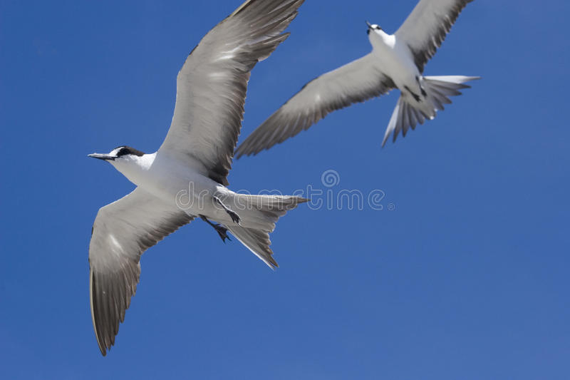 Download Two Sooty Terns In Flight Ascension Island Stock Photo - Image of fuscata, blue: 26651904