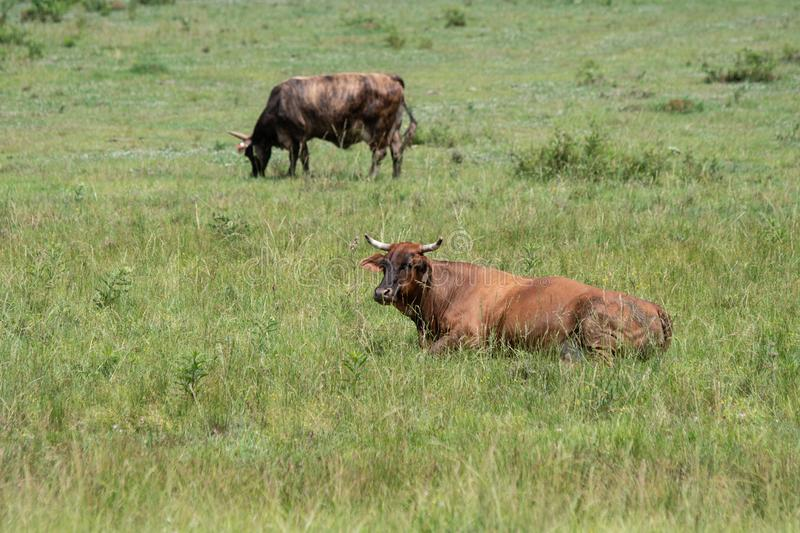 Two southern cows in pasture. Two horned crossbred `eared` cows Bos indicus in a southern pasture during the summertime. Cow in the foreground lies chewin her stock images