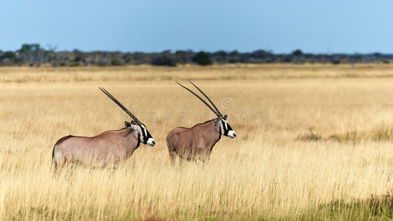 Two southern oryx Oryx gazella in Namibia. Two beautiful southern oryx Oryx gazellain the savannah of Etosha National Park in Namibia stock image