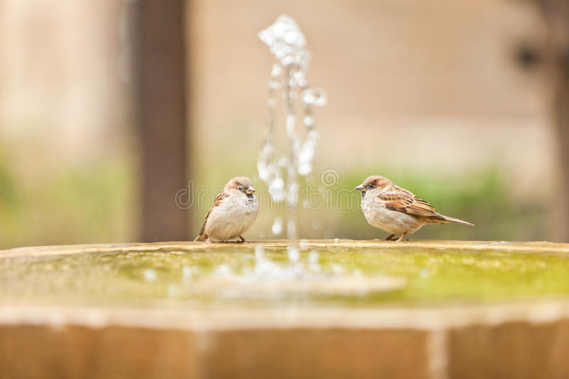 Two sparrow in fontain royalty free stock image