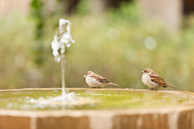 Two sparrow in fontain royalty free stock photography