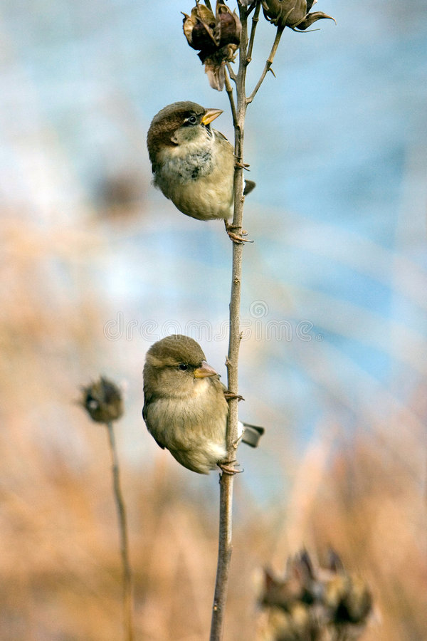 Free Two Sparrows Stock Images - 2145244