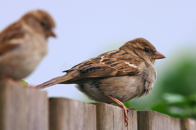 Download Two sparrows on a fence stock photo. Image of shrubs, brown - 8073932