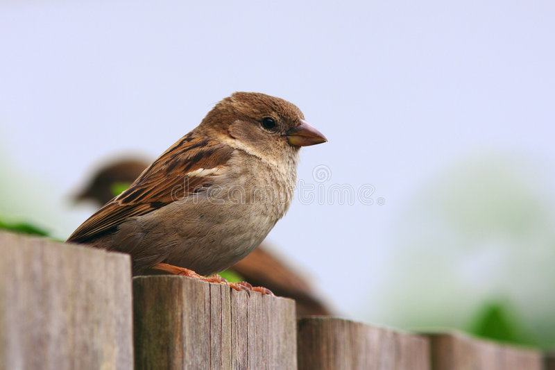 Two sparrows on a fence