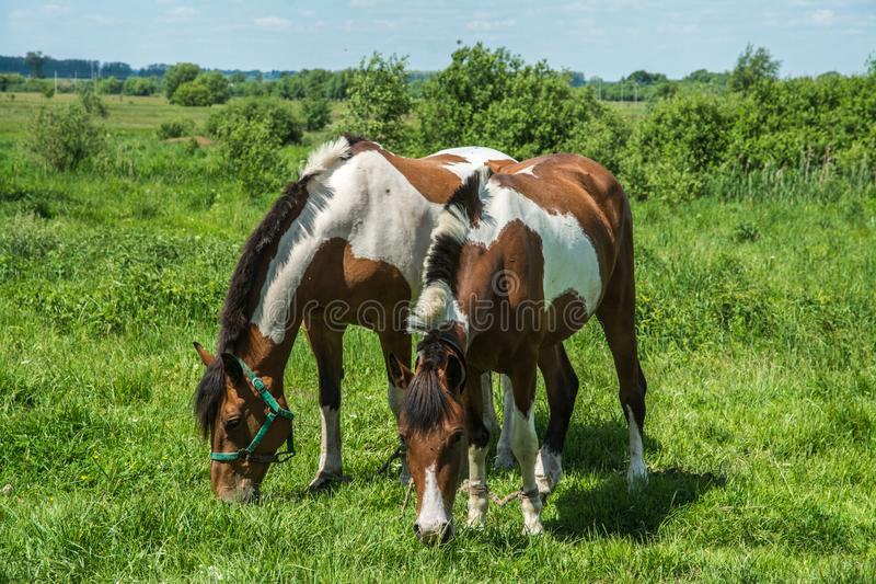Two horses in a meadow stock photo