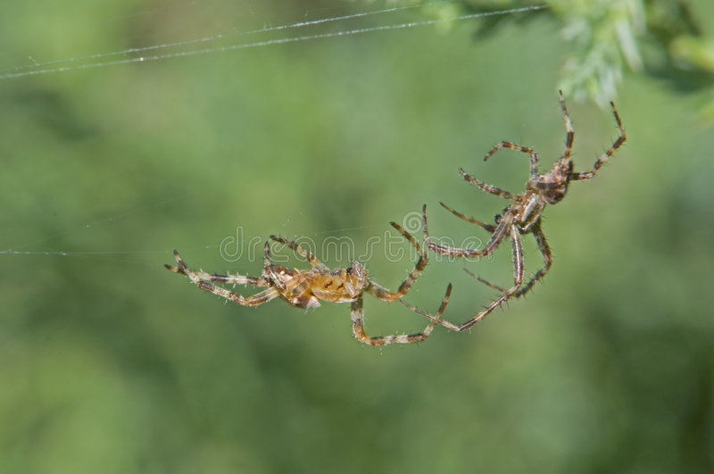 Two Spiders Fighting Royalty Free Stock Images