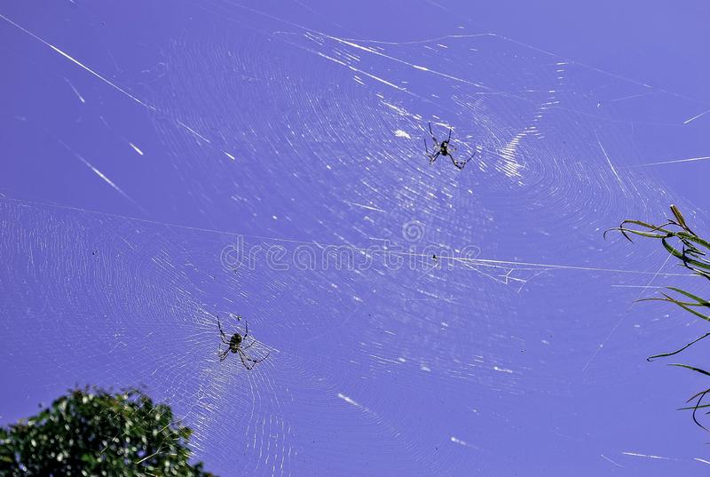 Two spiders in a large cobweb connecting plants in a garden, seen against bright blue sky. royalty free stock image