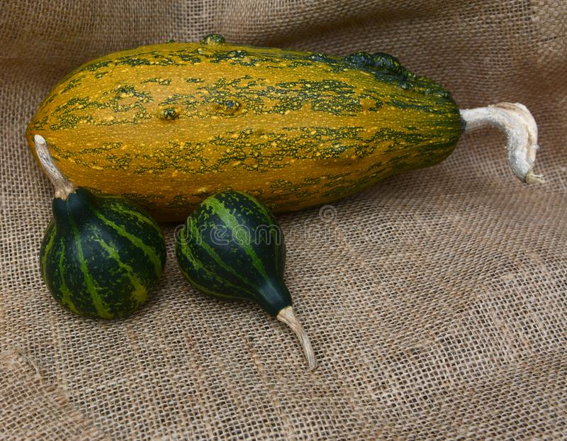 Two spinning gourds on hessian with large striped squash. Two dark green spinning gourds on hessian with large orange striped ornamental squash stock photography