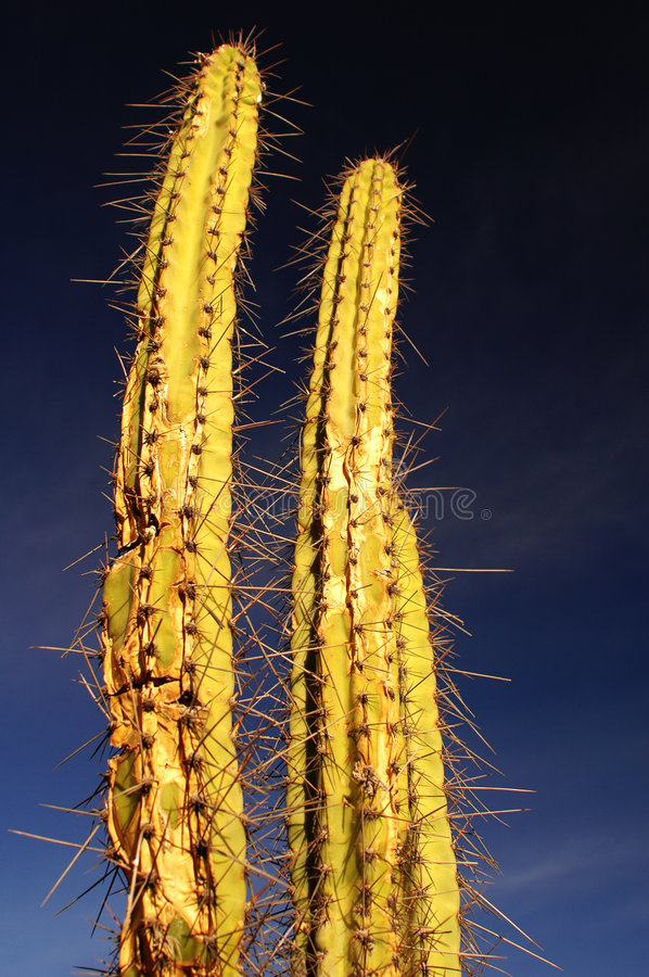 Free Two Spiny Cactus 1 Royalty Free Stock Photo - 184415
