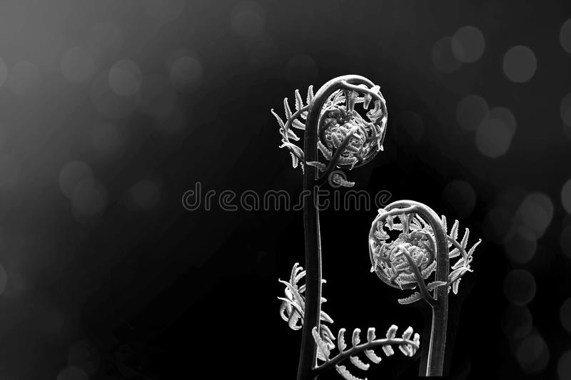 Two spiral growth ferns under sun light on black and white bokeh background.Abstract metaphor as mother take careof her child. royalty free stock image