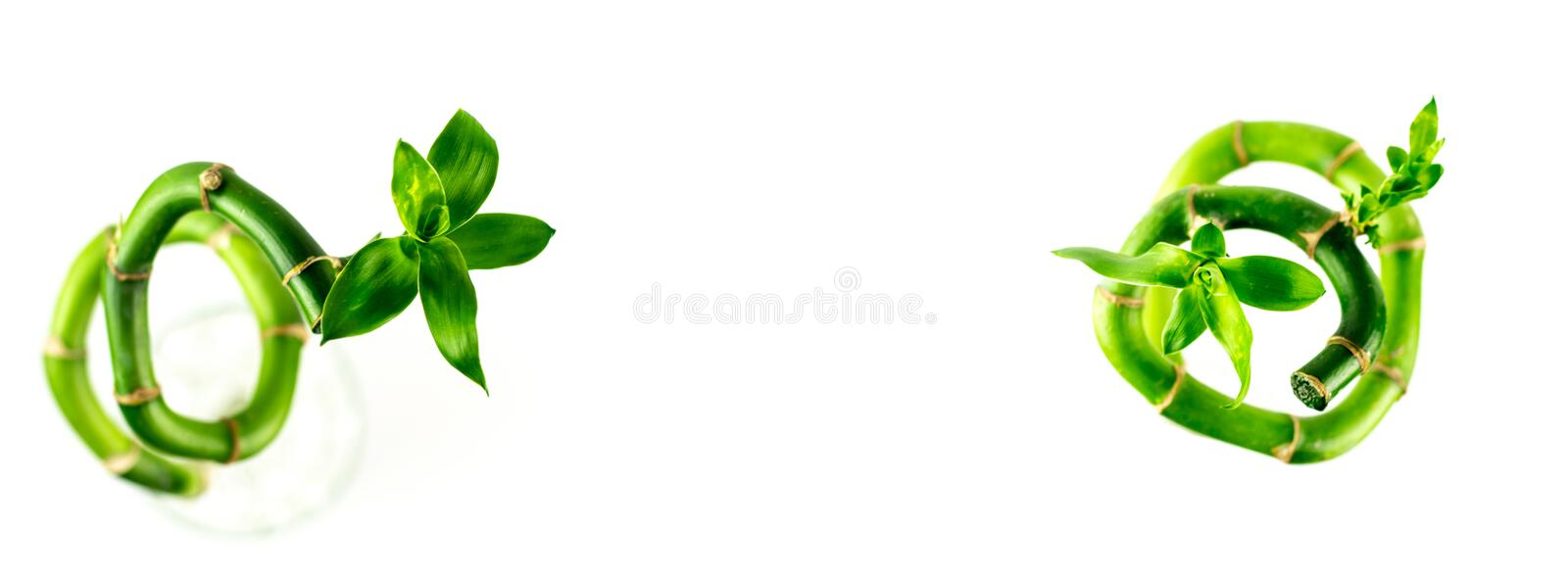 Two spiral shape stem of Lucky Bamboo Dracaena Sanderiana with green leaves, isolated on white background. Clipping Path royalty free stock image