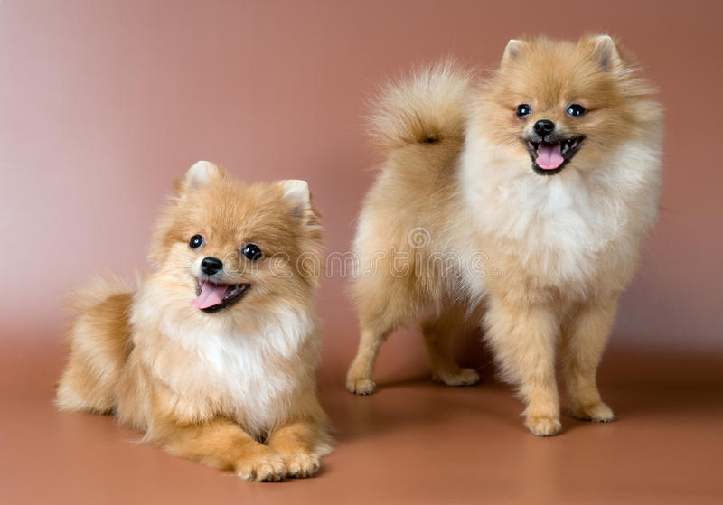 Two spitz-dogs in studio. On a neutral background royalty free stock photos