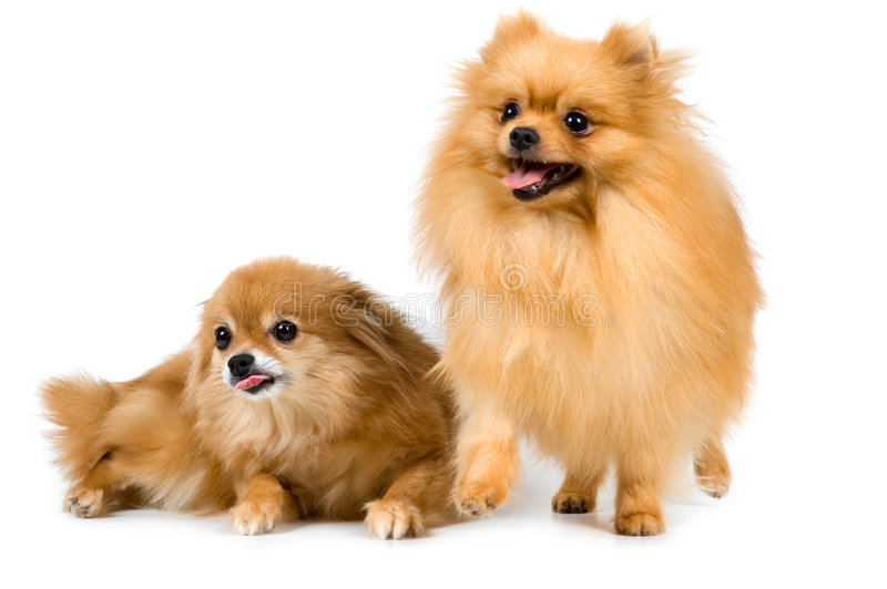 Two spitz-dogs in studio. On a neutral background stock photo