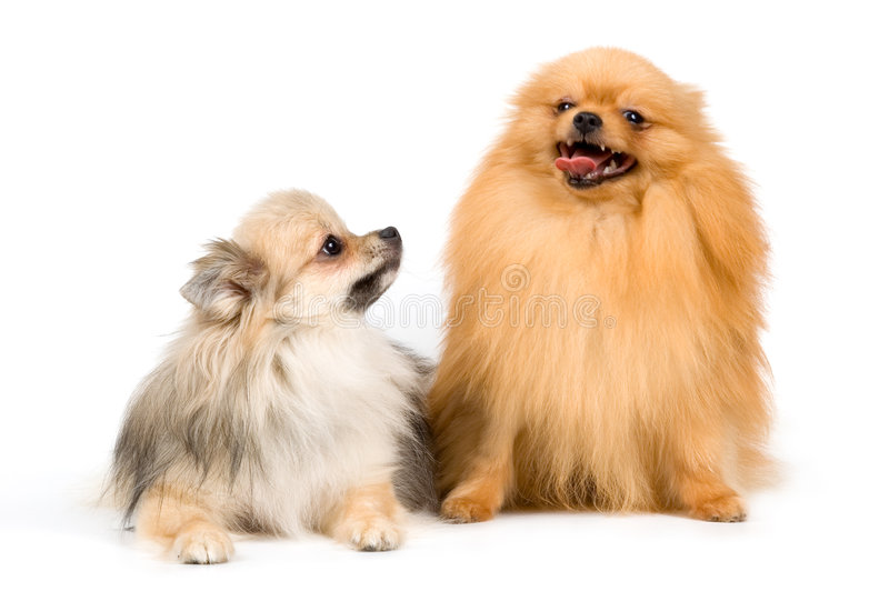 Two spitz-dogs in studio. On a neutral background royalty free stock photo
