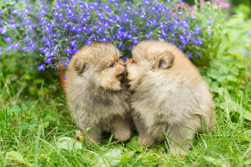 Two  Spitz puppies are walking and kissing royalty free stock photography