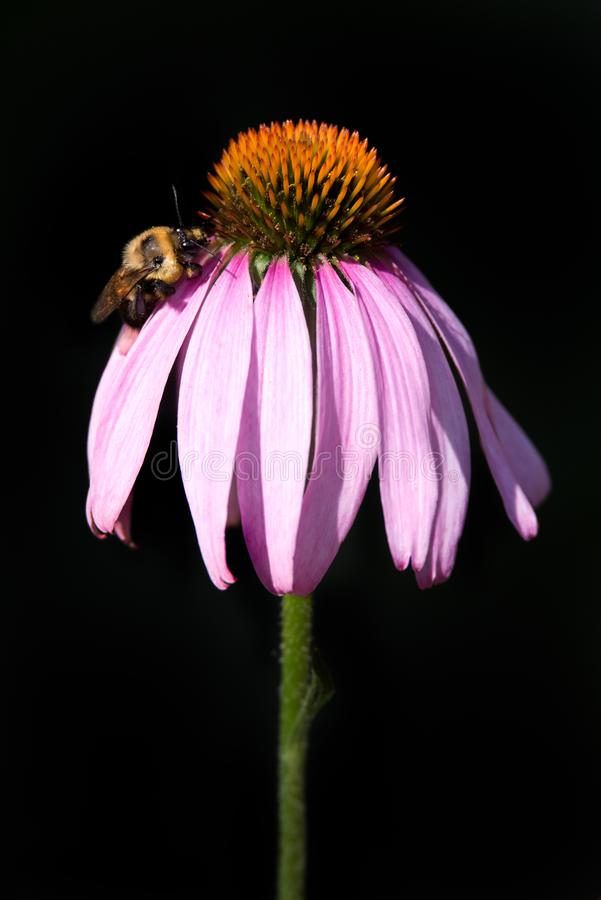 Two-spotted Bumble Bee on Purple Coneflower royalty free stock images